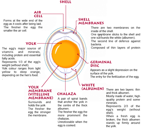 Anatomy Of An Egg About Eggs Nooitgedacht Krugersdorp